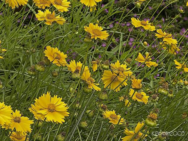 Coreopsis And Mexican Heather Poster