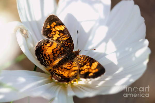 Pearl Crescent Butterfly On White Cosmo Flower Poster