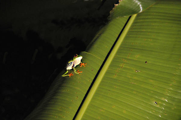 Costa Rica Red Eye Frog II Poster