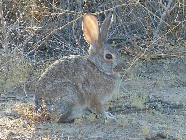 Cottontail Rabbit Morning Light Poster
