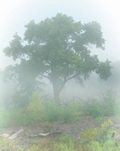 Cottonwood Tree In Fog Poster