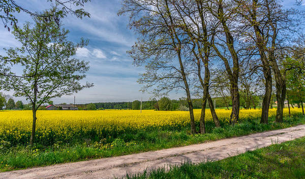 Country Road In The Rapeseed Field Poster