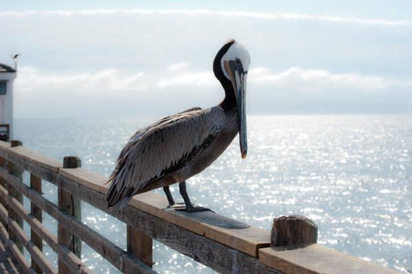 Coy Pelican Poster