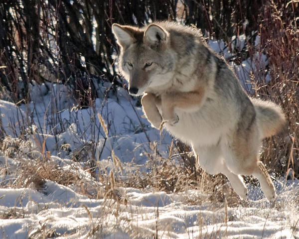 Coyote In Mid Jump Poster