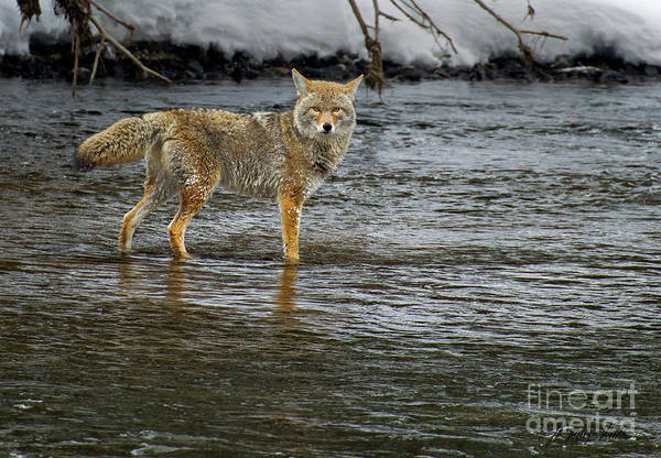 Coyote In The Madison River-signed-#0635 Poster