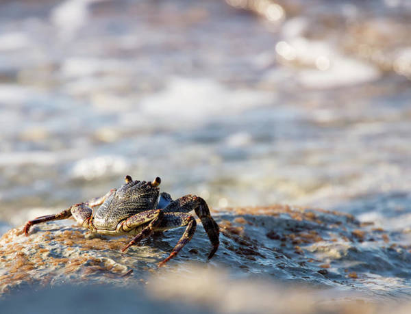 Poster featuring the photograph Crab Looking For Food by David Buhler
