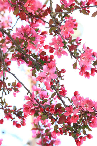 Crabapple Beauty Poster
