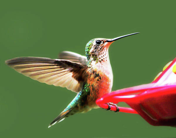 Crested Butte Hummingbird Poster