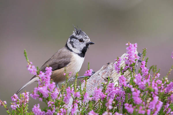 Crested Tit In Heather Poster