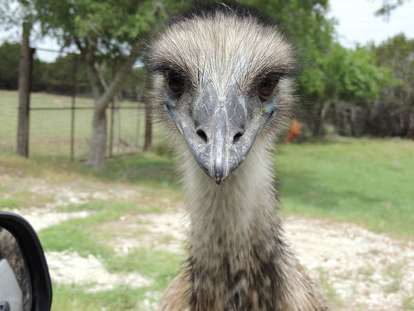 Curious Emu At Fossil Rim Poster