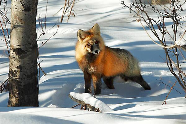 Curious Fox Poster