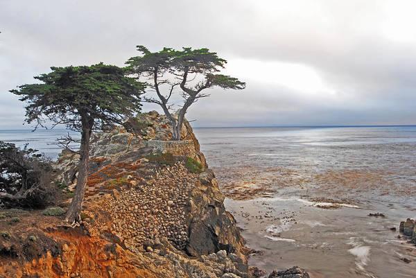 Cypress Tree At Pebble Beach Poster