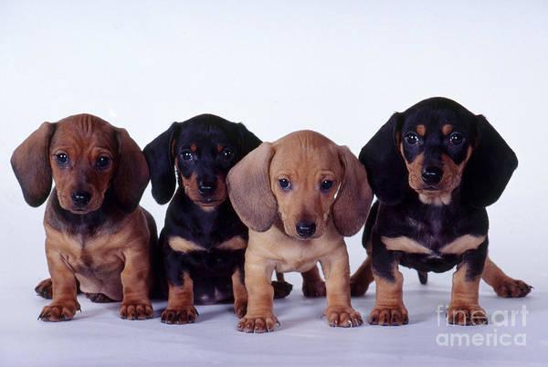 Dachshund Puppies  Poster