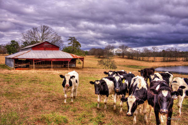 Dairy Heifer Groupies The Red Barn Dairy Farming Art Poster