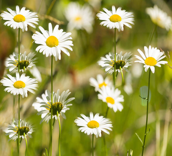 Daisies Galore 2014-1 Poster