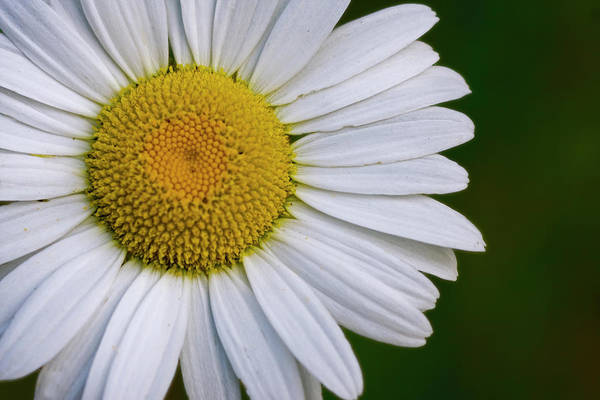 Daisy Detail Poster