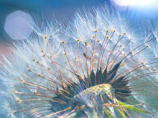 Dandelion In Light Poster