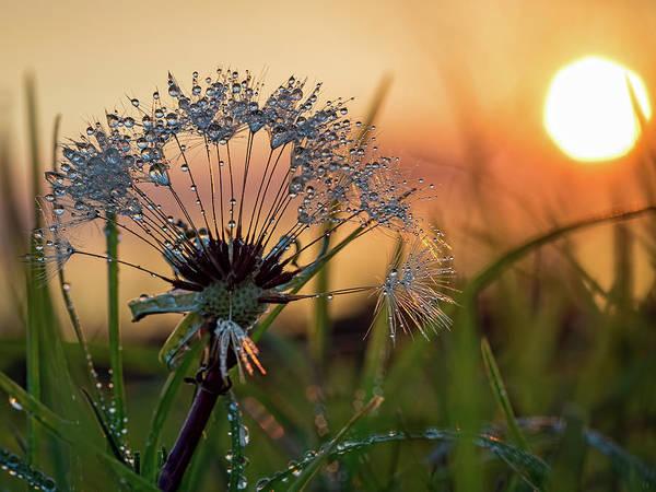 Dandelion Sunset 2 Poster