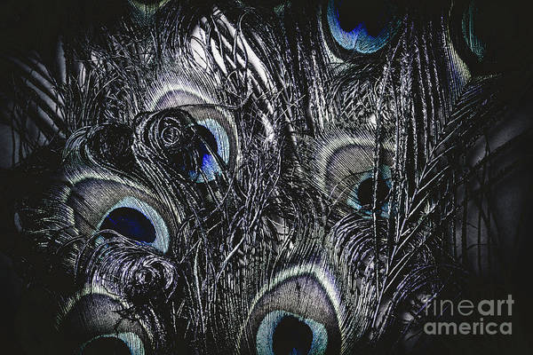 Dark Blue Peacock Feathers  Poster