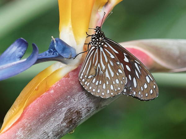 Poster featuring the photograph Dark Blue Tiger Butterfly - 1 by Paul Gulliver