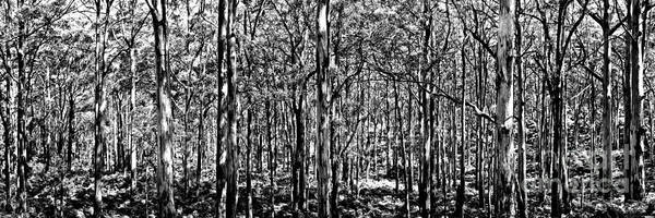 Deep Forest Bw Poster
