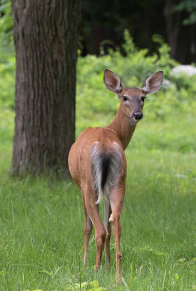 Deer Looking Back Poster
