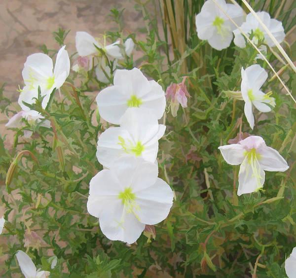 Delicate Desert Bloom - Death Valley Poster