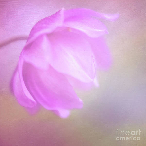 Delicate Pink Anemone Poster