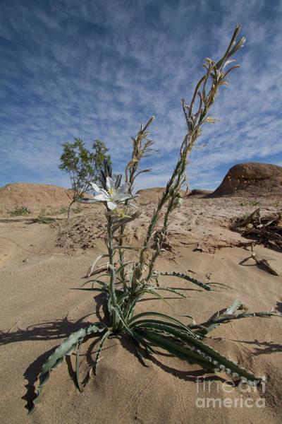 Desert Lilly Poster