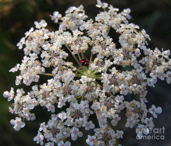Dew On Queen Annes Lace Poster