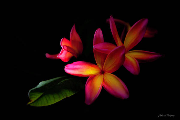 Digitized Sunset Plumerias  Poster