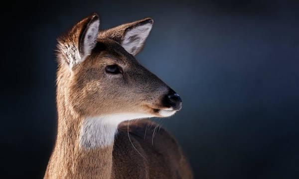 Doe Portrait - White Tailed Deer Poster