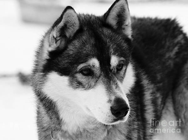 Dog - Monochrome 3 Poster