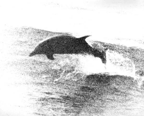 Dolphin Wave Leap Poster