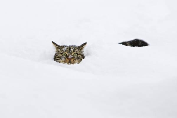 Domestic Cat Felis Catus In Deep Snow Poster