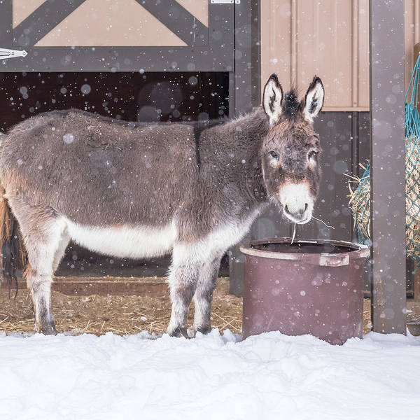 Donkey Watching It Snow Poster