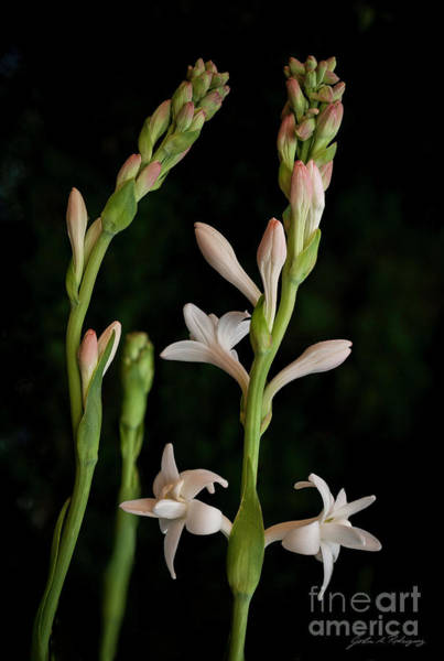 Double Tuberose In Bloom #2 Poster