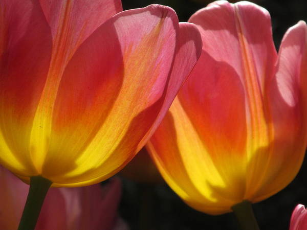 Double Tulips Poster