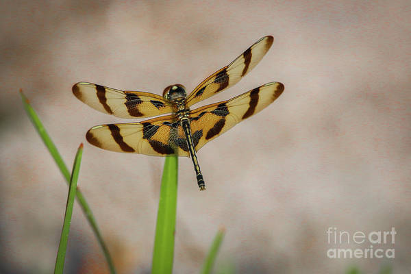 Poster featuring the photograph Dragonfly On Grass by Tom Claud