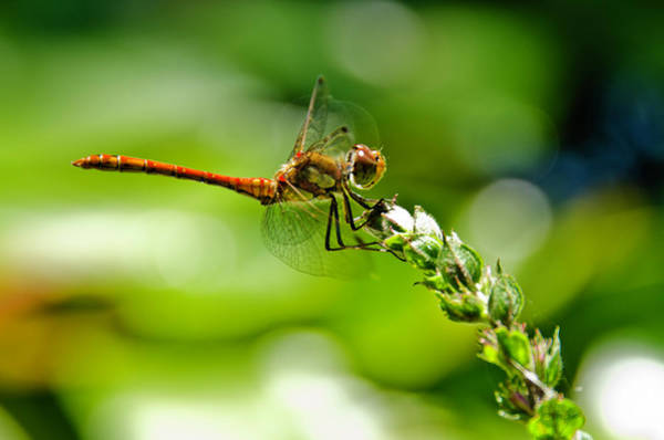 Dragonfly Sitting On Flower Poster