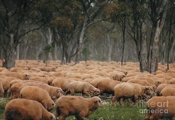 Droving Sheep  At Albert Australia Poster