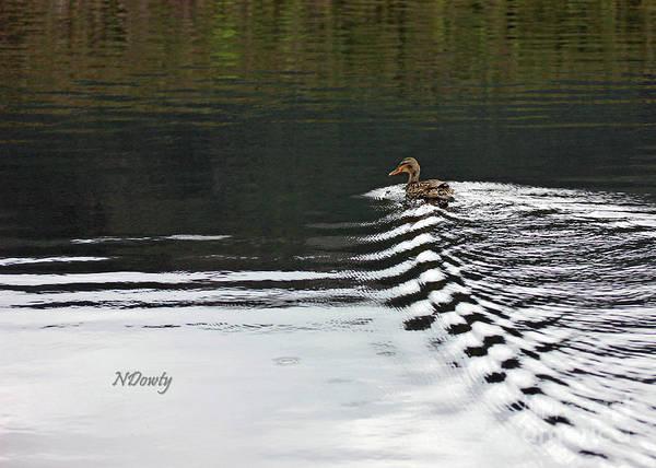 Duck On Ripple Wake Poster
