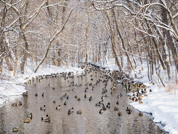 Ducks In A Creek Poster