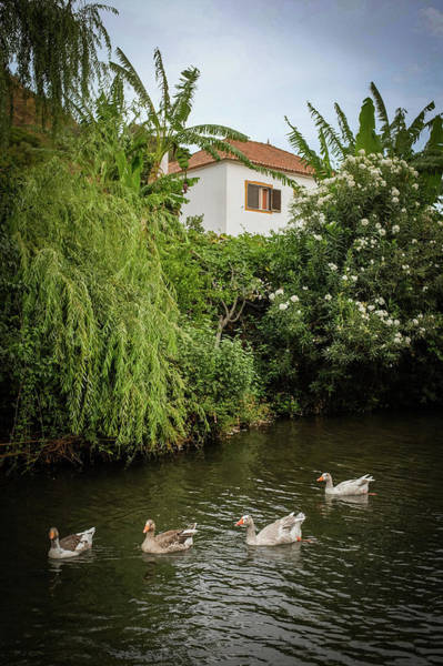 Ducks In Creek Poster