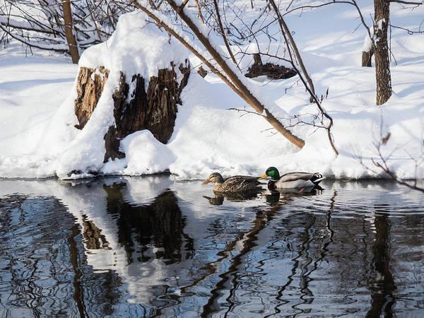 Ducks In Snow Poster