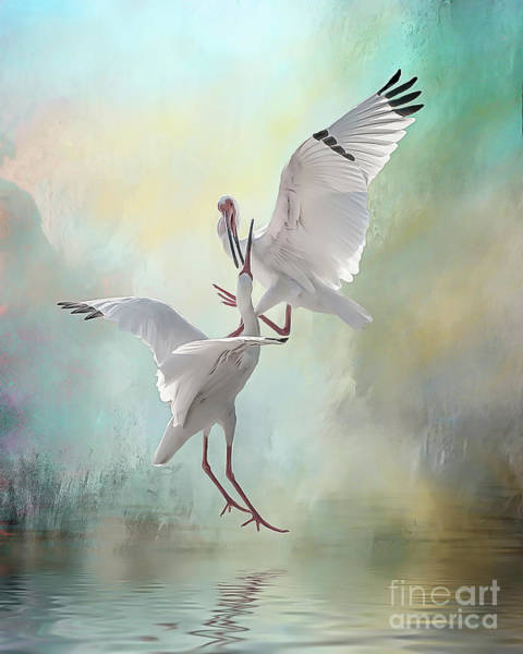 Duelling White Ibises Poster