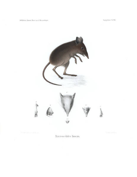 Poster featuring the drawing Dusky Elephant Shrew, Elephantulus Fuscus by J D L Franz Wagner