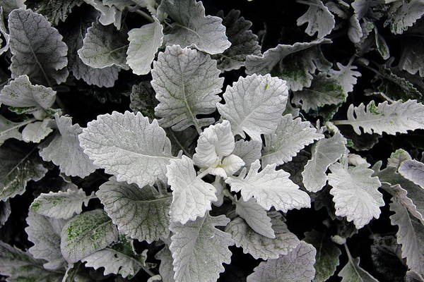 Dusty Miller Poster