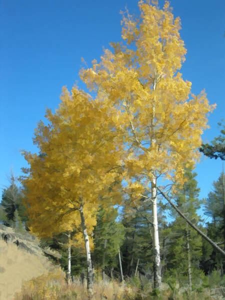Early Autumn Aspens Poster
