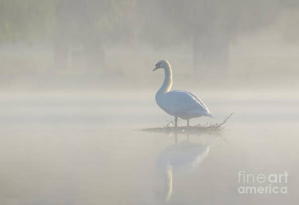 Early Morning Mute Swan - Cygnus Olor - On Serene, Misty Pond Poster